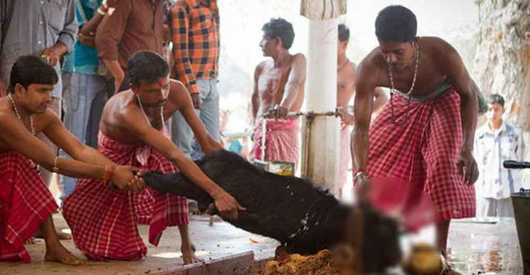 মন্দিরে পশু বলির ওপর নিষেধাজ্ঞা জারি করল ত্রিপুরা হাইকোর্ট